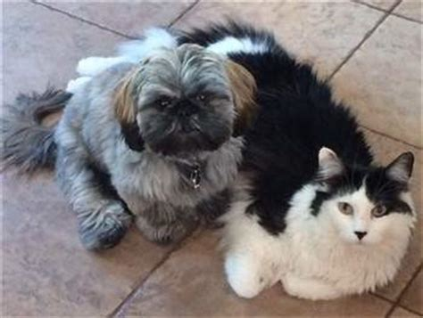 shih tzu canada shih tzu and cats creating a happy household