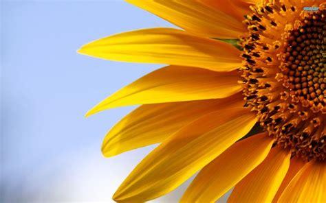 significato girasole fiore girasole piante annuali girasole caratteristiche