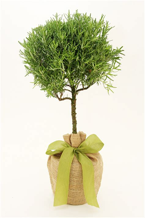 herb topiaries just because gifts gift trees seeds of