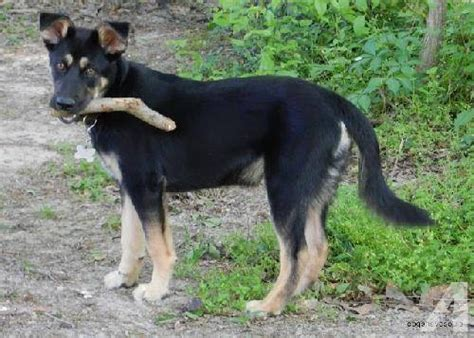 baby german shepherd for sale german shepherd medium baby for sale in breeds picture