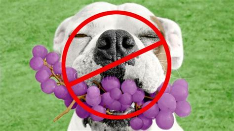 are raisins bad for dogs top 17 human foods that are bad and dangerous for dogs