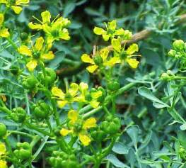 rue plant pictures meanings of rue plants