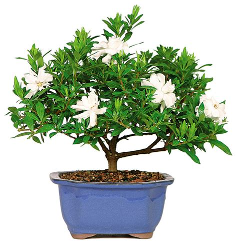 Gardenia Bonsai Tree   Asian   Plants   by Brussel's Bonsai