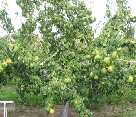 fruit trees wa pear rootstock research project chelan douglas