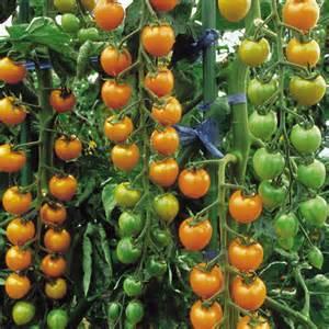 tomato seeds sungold f1 dobies of devon