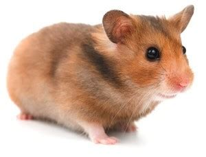 care   hamster