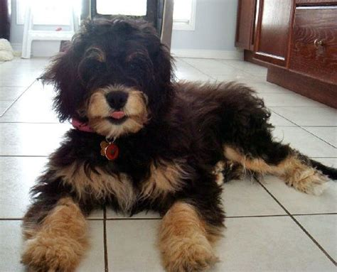 St Overal Puppy bernedoodle not in the housenot in the house