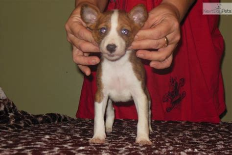 basenji puppies for sale near me basenji puppy for sale near tallahassee florida 8838e1c7 1a71