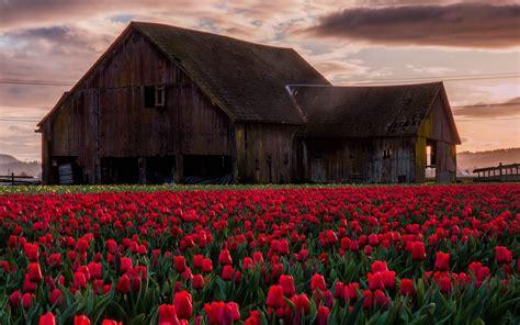 Barn Desktop Wallpaper barn in tulip field hd wallpaper and background 1920x1200 id 673416