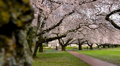 u of s cherry trees the and science of the uw cherry blossoms uw college of arts sciences beyond the