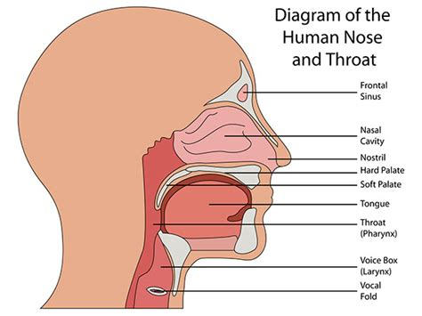 labelled diagram of the nose snoring treatment mccalla dental in birmingham al