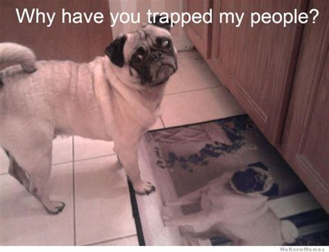 you pug 20 funniest pug memes gifs and comics weknowmemes