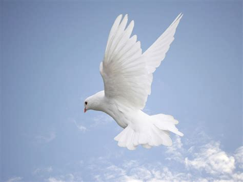 images of doves wallpaper white dove wallpapers