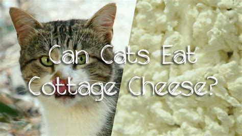 can dogs cottage cheese can cats eat cottage cheese pet consider