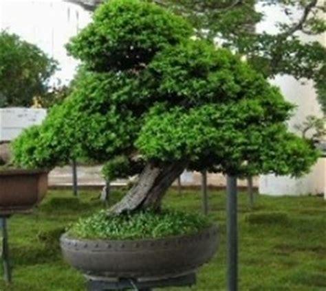 tipi di bonsai da interno bonsai di conifere schede bonsai bonsai di conifere