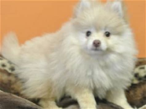 pomeranian jacksonville fl pomeranian puppies for sale in jacksonville florida fl breeds picture