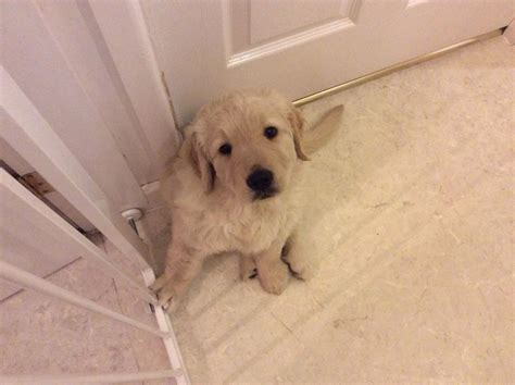 golden retriever puppies swansea golden retriever puppies 1 now availible swansea swansea pets4homes
