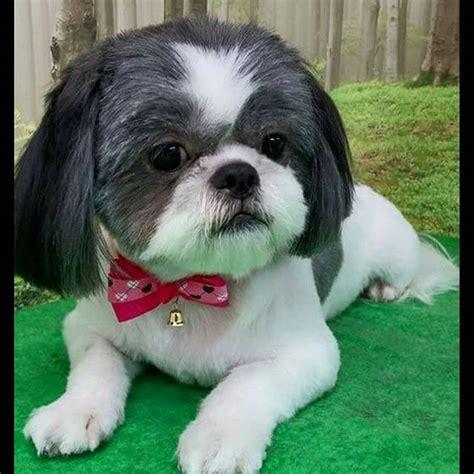 looking after a shih tzu puppy shih tzu shihtzu on instagram
