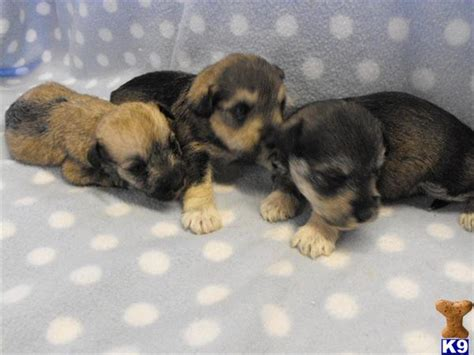 chonzer puppies for sale fantastic wauzer puppies ready march seaw 45122