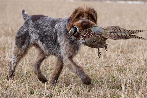 wirehaired pointing griffon puppies for sale 2017 wirehaired pointing griffon 2017 may litter anticipated wirehaired pointing griffons