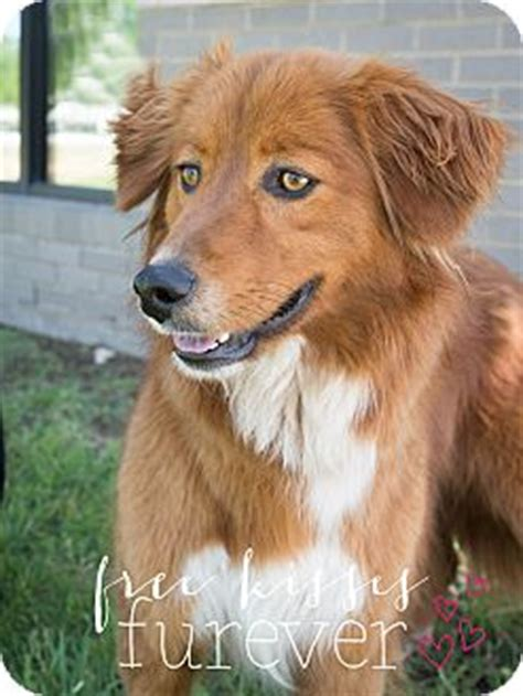 golden retriever rescue dfw bahr adopted dfw tx scotia duck tolling retriever golden retriever mix