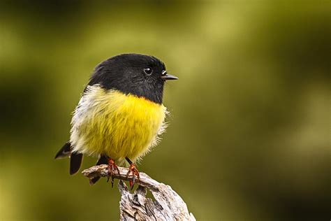 tomtit new zealand birds online