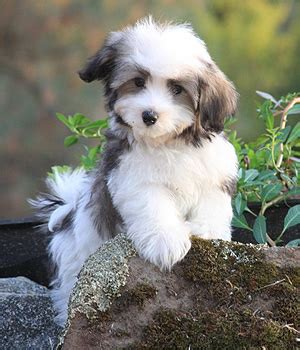 havanese history havanese history personality appearance health and pictures