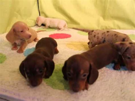 dachshund puppies for sale in mn miniature dachshund puppies for sale in minneapolis minnesota mn inver grove