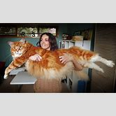 the biggest cat in the world guinness world