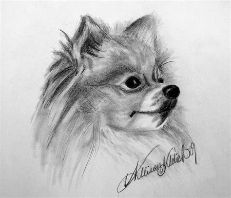 pomeranian drawing pomeranian by allison aldrich