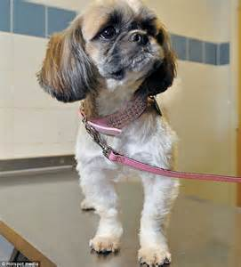 shih tzu spine problems tiny shih tzu saved by vets after swallowing needle and thread that got stuck in