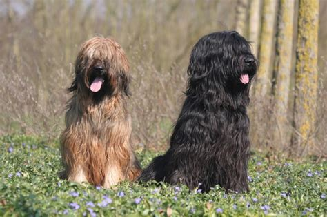 Briard Shedding by Briard Breed Information Buying Advice Photos And