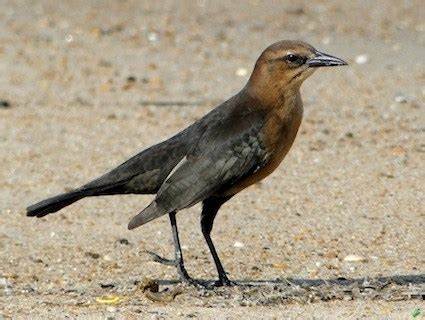boat tailed grackle identification all about birds