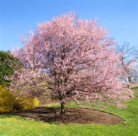 Kwanzan Flowering Cherry Trees For Sale Fast Growing Trees Cherry Tree Pictures