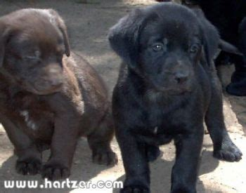 lab puppies sacramento chocolate lab dogs for sale