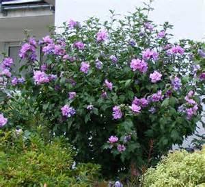 garten hibiskus hibiscus syriacus jk s pflanzenblog