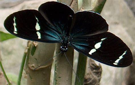 imagenes de mariposas negras y blancas mariposa negra blanca azul galer 237 as fotonatura org
