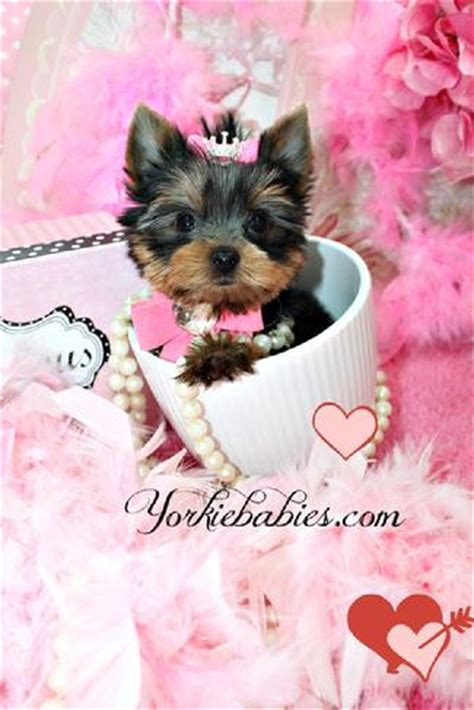 yorkies for sale ga micro teacup yorkie for sale in ga dogs in our photo