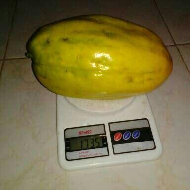 jual bibit markisa besar  cm jual bibit tanaman  buah