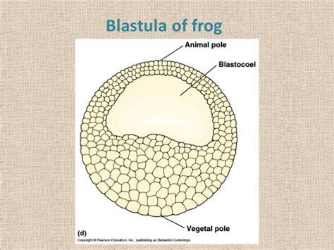 pics for gt blastula