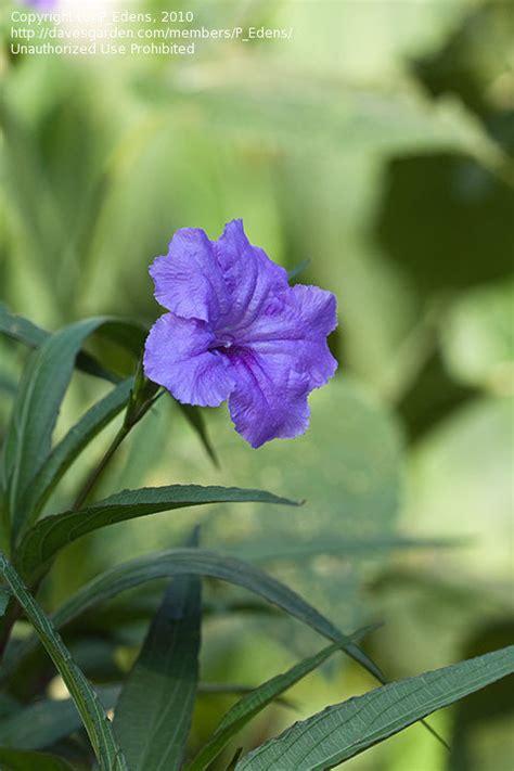 Plant Identification Closed Purple Flowers 5 Petals Purple Garden Flowers Identification