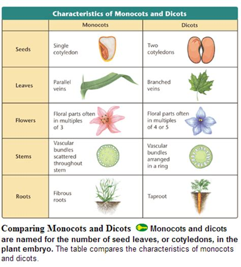 comparing monocots and dicots worksheet key b s bio 20 plantae