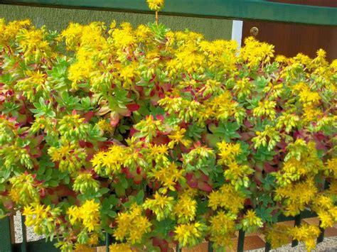piante fiori gialli piante grasse fiori gialli stratfordseattle