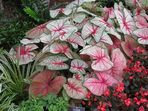 how to care for a caladium garden guides