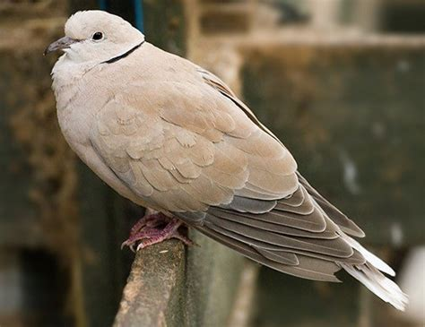 african collared dove life expectancy