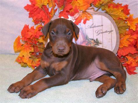 doberman puppies pa sweetkist dobermans breeders ulster pa