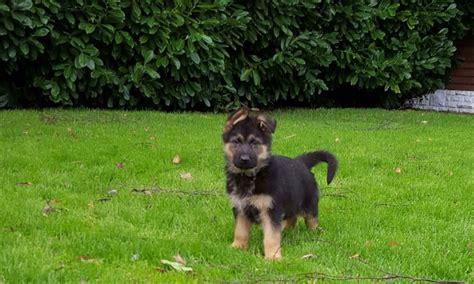 east german shepherd puppies for sale german shepherd puppies for sale goole east of pets4homes