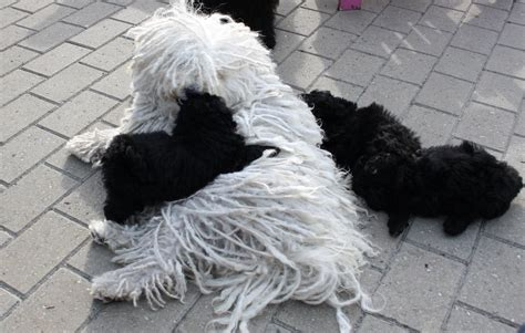 komondor puppies for sale near me puppies for sale komondor and puli puppy breeds picture