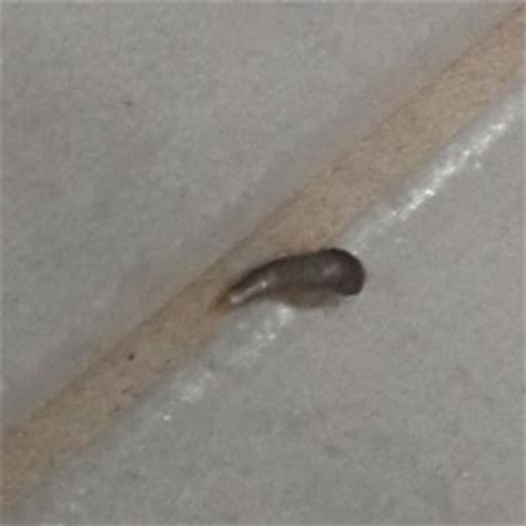 black worm like bug in bathroom black worm shaped like a pumpkin seed all about worms