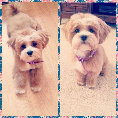 how to cut hair on a shihpoo pinterest the world s catalog of ideas